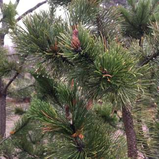 raindrops-on-pine-needles