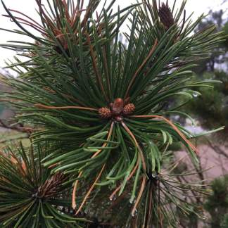 raindrops-pine-cone